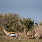 Cheetah hunting gazel